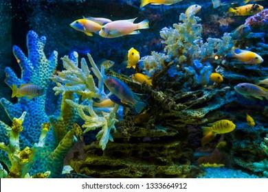 Golden carp fish swim in fresh water in the aquarium.