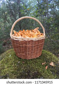 Golden chanterelle, chanterelles, mushrooms