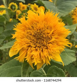 Golden Cheer Sunflower growing on a North Carolina farm
