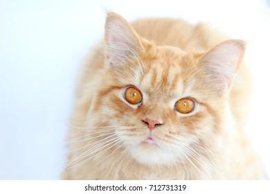 Golden Chinchilla Persian kitten on lilac background.