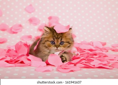 Golden Chinchilla Persian kitten with pink rose petals on pink background for Valentine theme