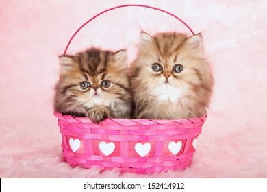 Golden Chinchilla Persian kittens sitting in pink Valentine heart basket on pink background