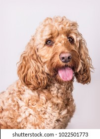 Golden cockapoo dog head and shoulders portrait against a white backdrop