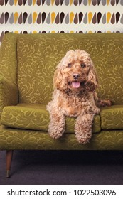 Golden cockapoo dog sat facing the camera on a green retro sofa with 1950's wallpaper behind.