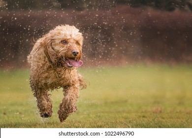 Golden cockapoo dog soaking wet running towards the camera in a field. Dog sharp background blurred.