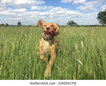 A golden cocker spaniel dog running through a meadow in summer, her ears are flapping and tongue hanging out as she runs
