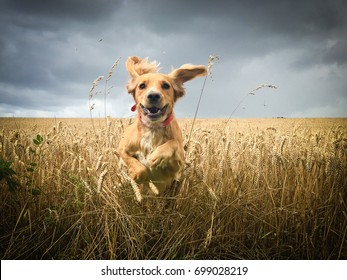 Golden Cocker spaniel dog running through a field of wheat