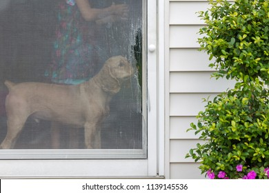 Golden cocker spaniel eyeing a damaged screen door opening onto an exterior patio standing inside sniffing the ripped wire mesh