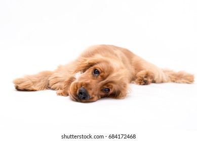Golden Cocker Spaniel lays down on white background