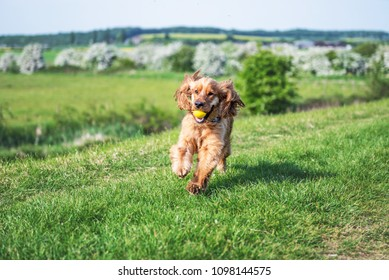Golden Cocker Spaniel puppy dog running on green grass with a yellow ball in his mouth