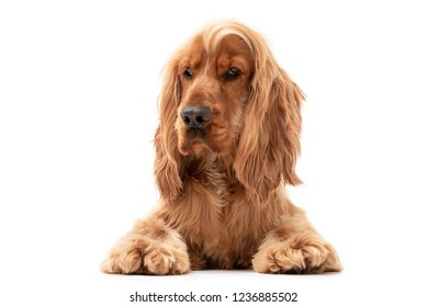 Golden Cocker Spaniel puppy dog laying down isolated against a white background