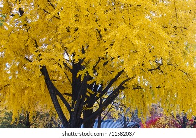 Golden color of a giant Ginkgo tree in Deoksugung Seoul Korea in November