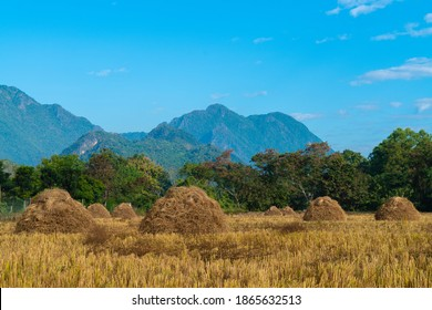 A golden color of heap of rice straw hay in paddy field with beautiful mountain and blue sky background, Those heap are old and traditional style of rice farming in Mae Sai, Chiang Rai, Thailand