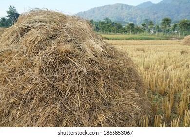 Golden color of heap of rice straw hay in paddy field with beautiful mountain and blue sky background, Those heap are old and traditional style of rice farming in Mae Sai, Chiang Rai