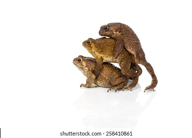 Golden color skin and orange neck toad are mating and contender on White background, Toads are associated with drier skin and more terrestrial habitats than animals commonly called frogs
