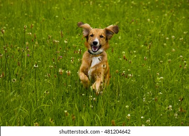 Golden colored dog happily jumping through the high green grassy field