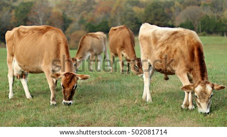 Golden Colored Jersey Milk Cow And Fifteen Month Old Bull With Brass Ring In Nose Grazing In Open Pasture Field With Cow And Heifer Beyond On A Farm In The Mountains Of South West Virginia