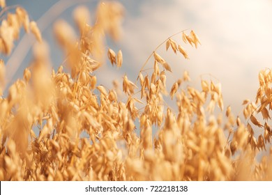 Golden colour wheat field against blue sky