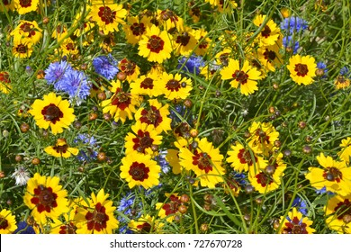 A golden and colourful naturally planted flower meadow with Coreopsis , Cornflowers and marigolds