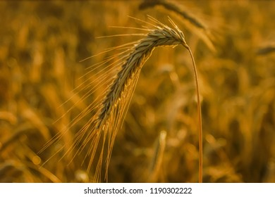 golden corn in the countryside