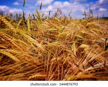 Golden corn field landscape nature
