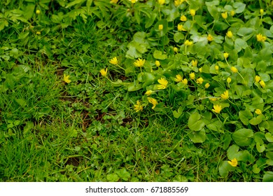 Golden creeping Jenny (Lysimachia nummularia Aurea) ,Moneywort (Lysimachia zawadzkii) , herb twopence ,twopenny thot ,Goldilocks is a evergreen ground cover plant use as a beautiful ornamental yard.