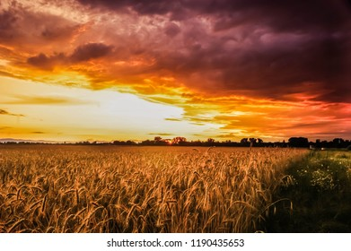 golden crop before the storm and sunset sun