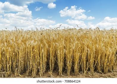 golden crop in field under blue sky with clouds