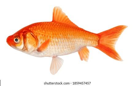 Golden crucian carp fish. Goldfish isolated on white background