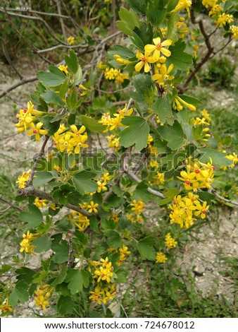 Golden currant small goldenyellow flowers on stock photo edit now small golden yellow flowers on a bush flowers with yellow petals mightylinksfo