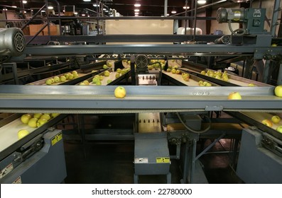 Golden Delicious Apples on conveyor belts in a packing warehouse