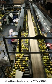 Golden Delicious Apples on sorting table in a warehouse