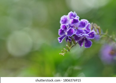 golden dewdrop or Pigeon Berry, Duranta erecta, mavaetangi, skyflower