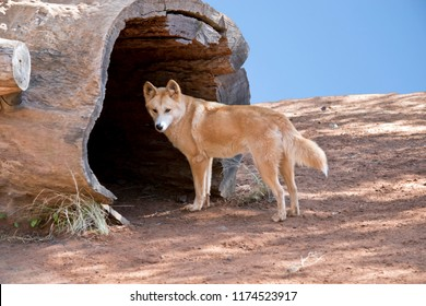 the golden dingo is going into the tree hollow to get out of the sun