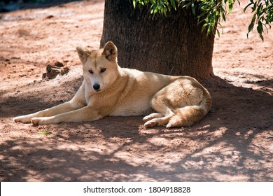 the golden dingo is a golden and white with a black nose