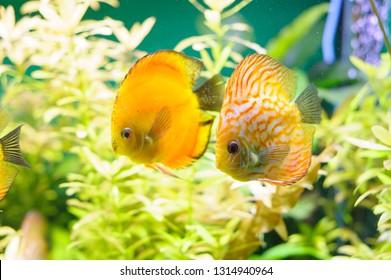 Golden Discus pompadour fish in aquarium