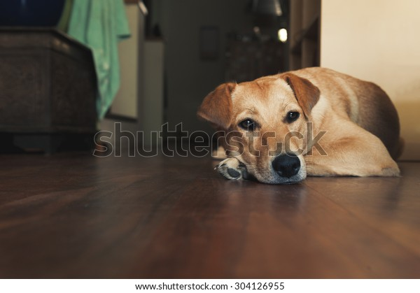 Golden dog laying on a wooden floor, head down on paw, in a living room.