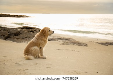 Golden dog sitting on the beach at sunset.