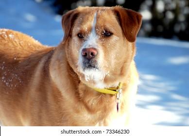 Golden dog with snowy beard on the alert