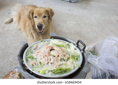 golden dog waiting for a food