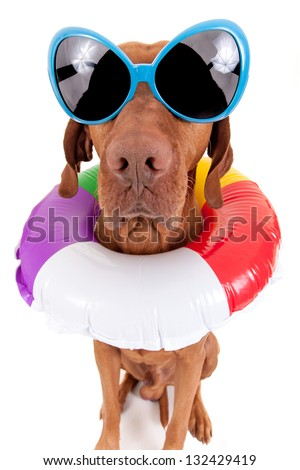 a11364711d8 golden dog wearing oversize sunglasses and swimming ring around neck  isolated on white background