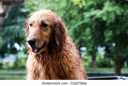 Golden dogs wet on a rainy day