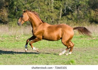 golden Don horse stallion runs gallop in summer