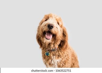 Golden doodle Dog on Isolated Background