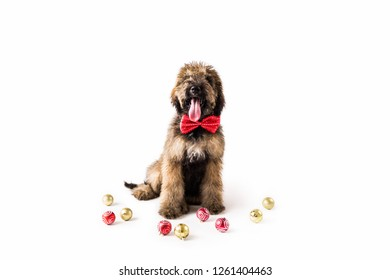 Golden Doodle Puppy with Christmas Ornaments