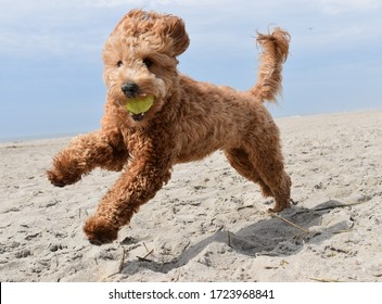 Golden doodle puppy playing with ball on beach