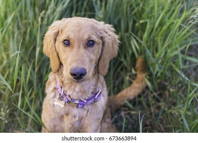 Golden Doodle puppy sitting patiently in tall grass, summer time.