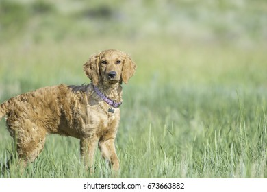 Golden Doodle puppy standing outside in tall grass.