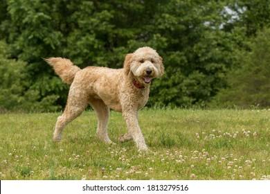 A golden doodle running in a park