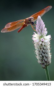 a golden dragonfly enjoying its catch on a fresh morning. perched at the end of a wild flower in a park near the lake